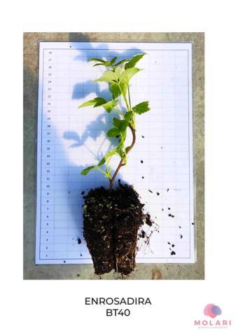 Diversi formati di piante di lamponi