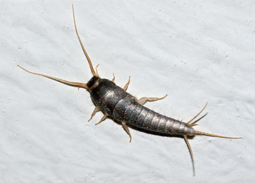 What Attracts Silverfish To Your Home Accurate Pest Control