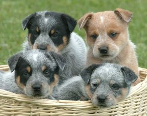 About The Breed – Australian Cattle Dog Club of America