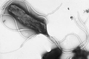 Bacteria Helico Pylori