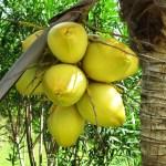 Como elegir un Aceite de Coco
