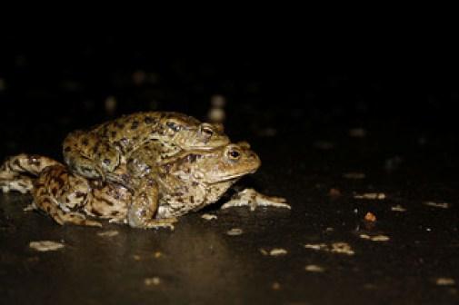 Fig.3. Amplexus en anfibios. Fuente: erikpaterson flickr