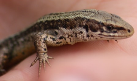 Reptile Survey South Wales