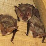 bat mitigation for long-eared bat