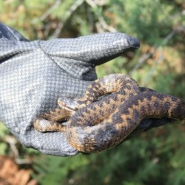 Reptile Survey Herefordshire