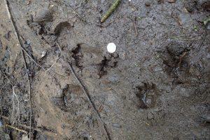 Otter tracks in muddy bank