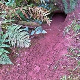 Badger Survey Merthyr Tydfil