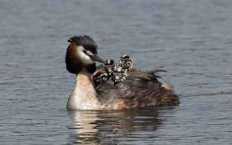 Great Crested Grebe, CC, Steve Child