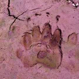 Badger footprint found during Badger Survey