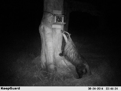Badger caught on camera trap during ecological survey