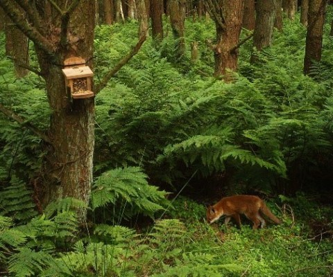 Fox recorded on camera trap during ecology survey