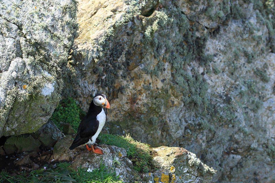 Puffin on Vantage Point Bird Survey