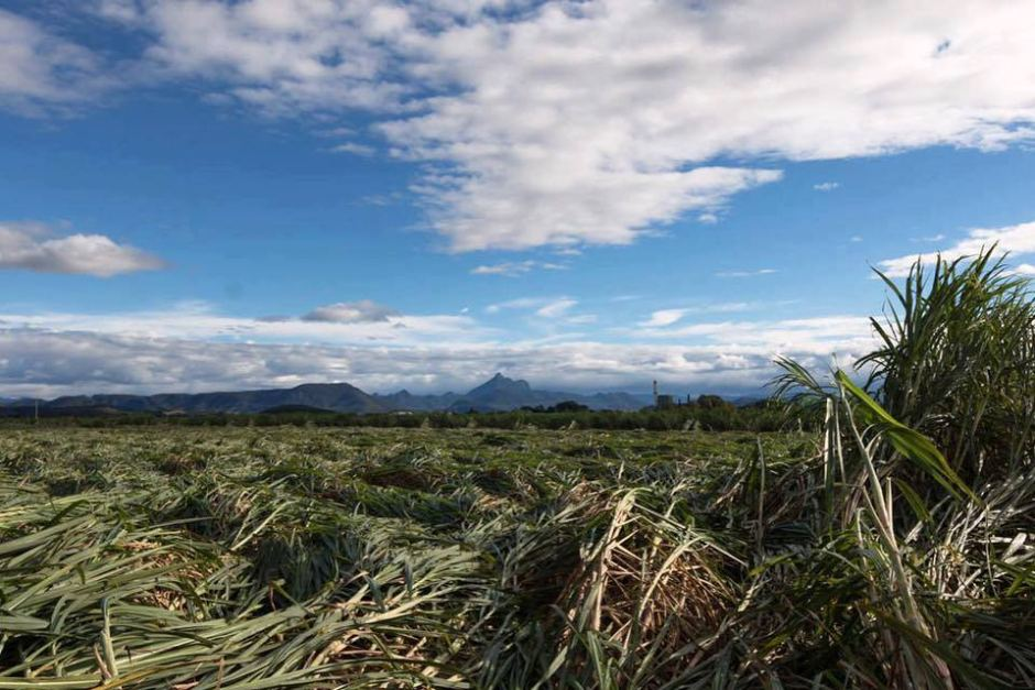 sugar cane fields in the Tweed Valley