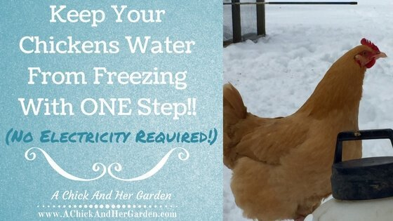 Try this ONE step to keep your hens water from freezing this winter! (No electricity required!!)