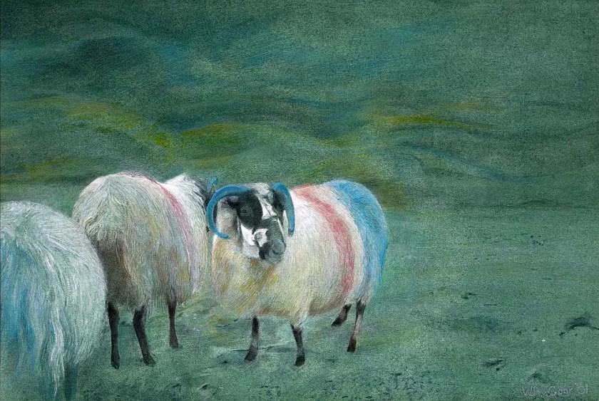 Dukinella sheep