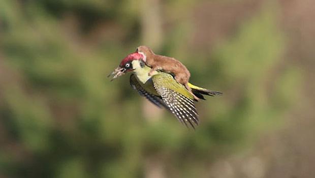 A incrível foto de um furão pegando carona em um pica-pau.