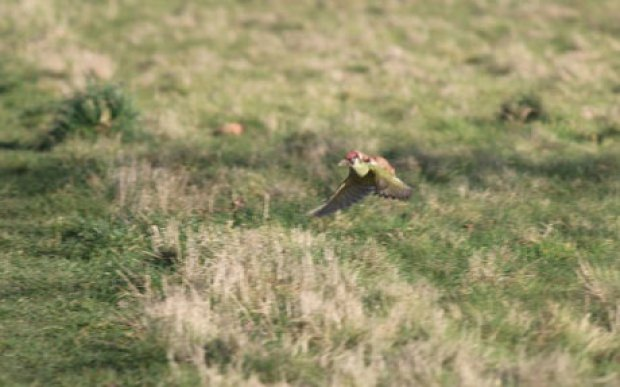woodpecker-weasel-_3217752c