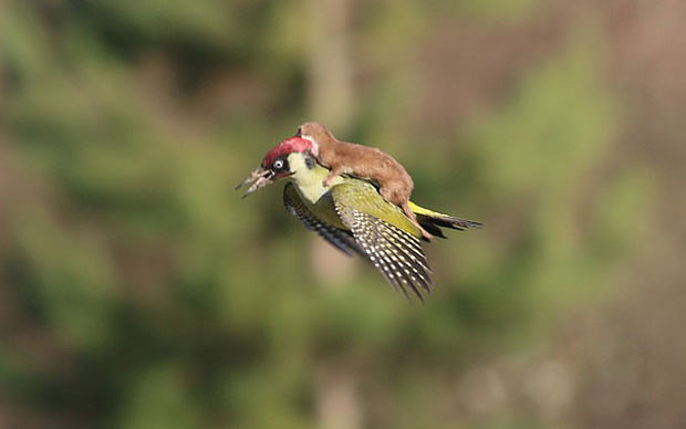 woodpecker-weasel_3217732b