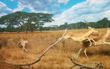 Cheetah chasing two gazelles