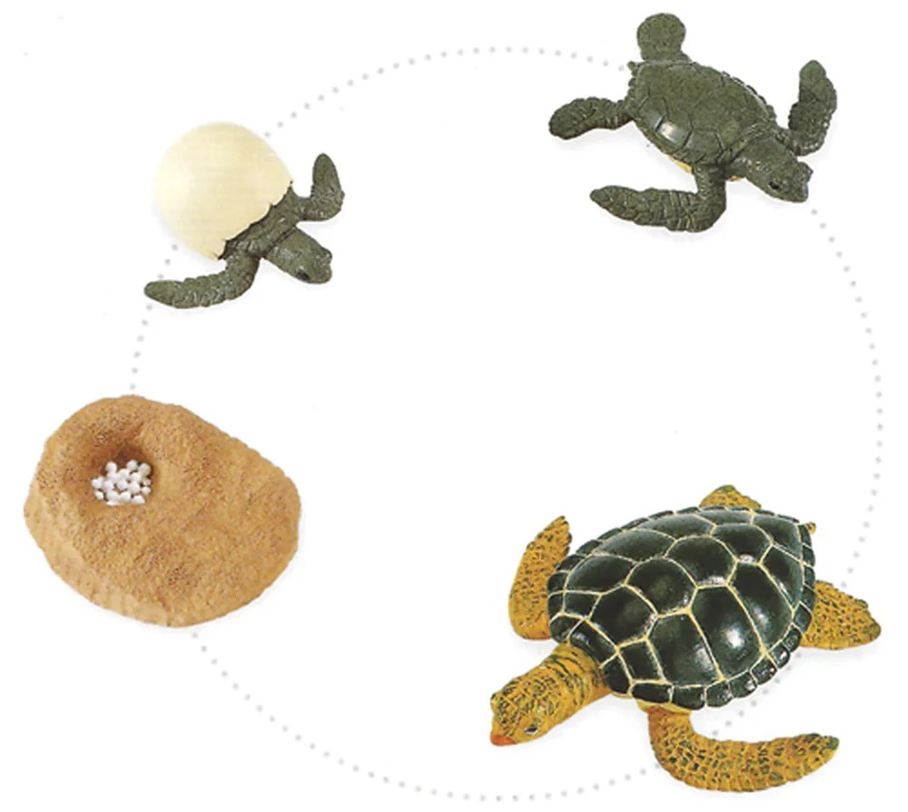 Green Sea Turtle Life Cycle Models Set