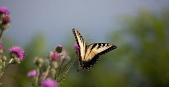 Yellow Swallowtail Butterfly flying in nature.