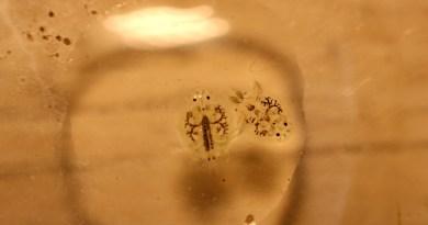 Malattie dei pesci – Argulus foliaceus