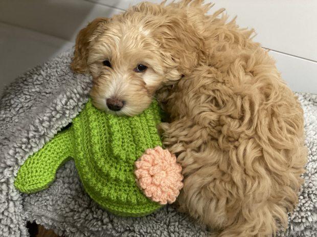 DIY Dog Toy Tutorial- Mini golden doodle cuddling a crochet cactus pillow.