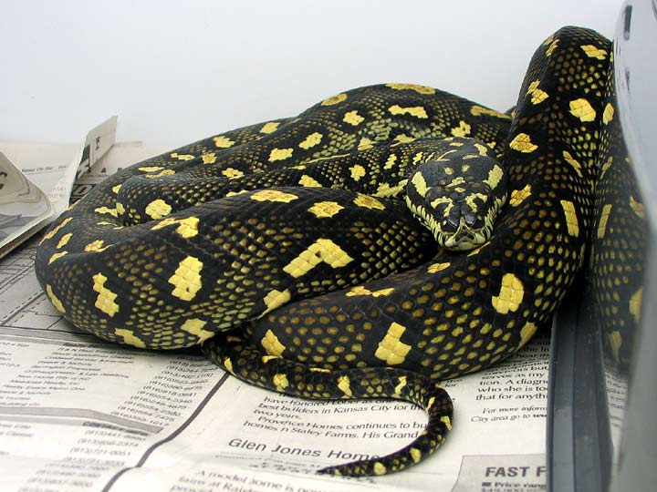 Jungle Carpet Python A Gravid 75 Diamond This Is 6 Feet Long And The Size Around Of Half Dollar Meaning She Hasn
