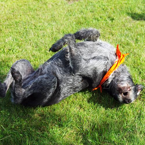pet-daycare-rolling-dog
