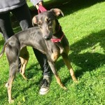 Bluebell, Lurcher, Female