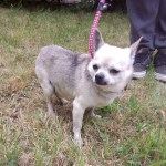 Gizmo, Chihuahua, Male, 8