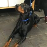 Diego, 3 years old, Doberman, Male