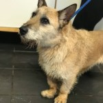Dylan, Jack Russell cross German Shepherd, Male, 1-2