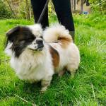 Patch, Pekingese, 8 years old, Male