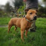 Ralphy, Staffie, 8, Male