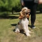 Freddie, Cocker Spaniel, 2, Male