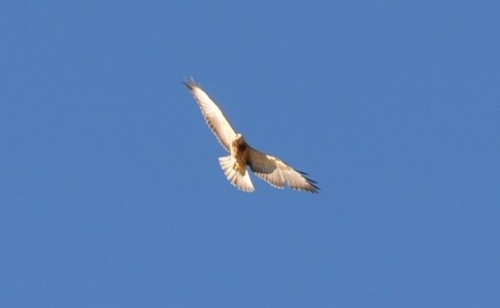 Swainson's Hawk In Flight Over Calgary
