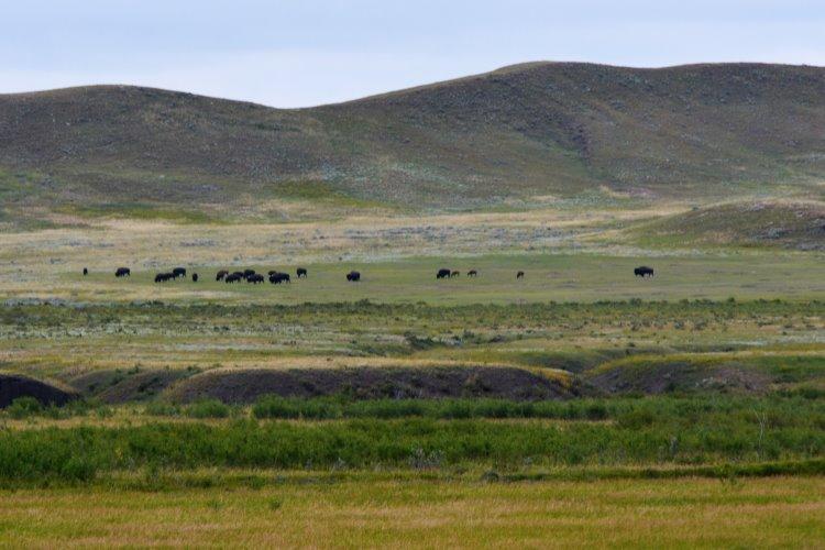 bison-herd-at-grasslands-national-park