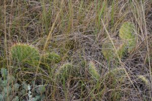 prickly-pine-in-grasslands-np