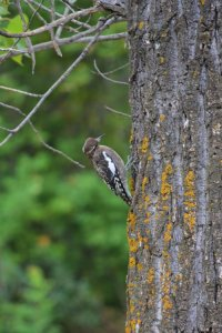 woodpecker-at-pike-lake-provincial-park