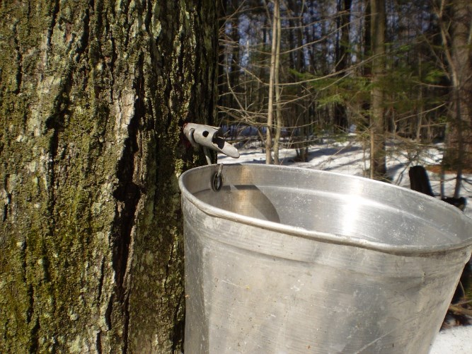 maple-sap-bucket
