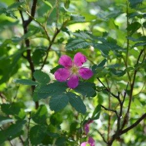 Single, pink wild rose bloom