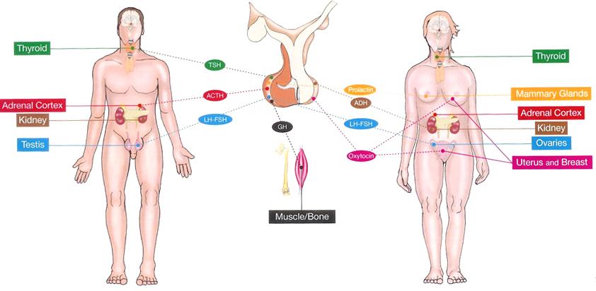 Producing Gland Insulin