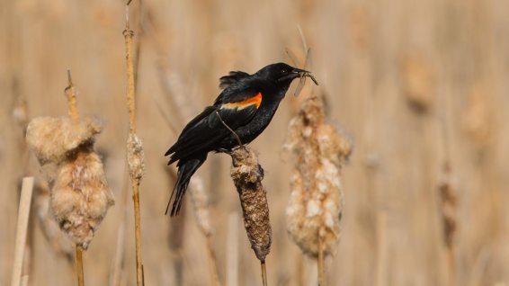 Wir Hobby-Ornitologen meinen, es ist ein Rotschulterstärling (das Opfer ist eine Libelle).