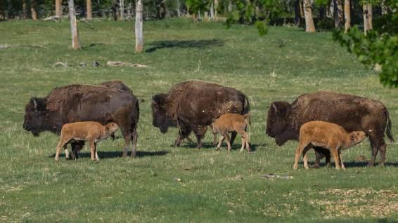 Auch die Bisons haben Nachwuchs.