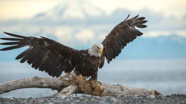 Weisskopfseeadler vor den Bergen Alaskas.
