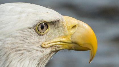 Ein hungriger Sea-Eagle.