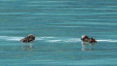 Seeotter schlafen im Wasser.