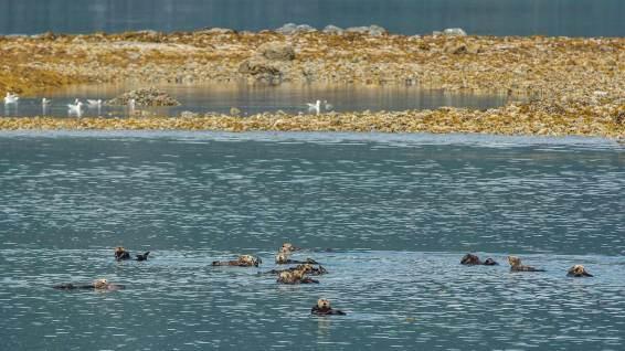 Seeotter-Kolonie im Prince William Sound.