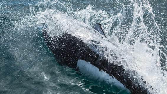 Delphine begleiten unser Schiff im Prince William Sound.